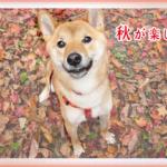 秋柴犬紅葉